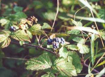 dewberry, not blackberry!