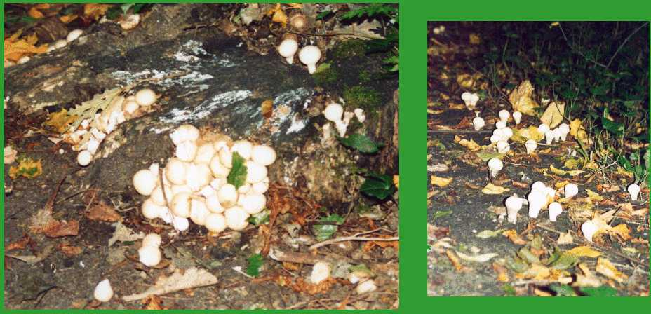 Ahhh! The puffballs are coming, the puffballs are coming!