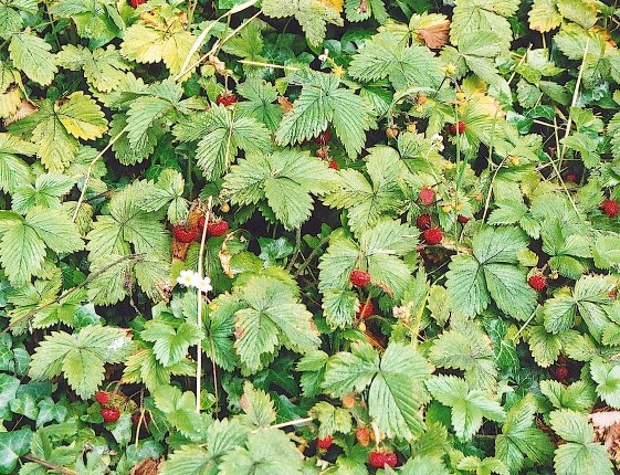 Wild Strawberry Vine The wild strawberry is to be